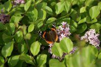 Lilacs & Butterfly