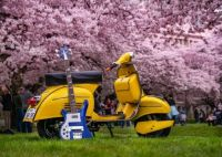 Cherry scooter, Cherry bass guitar, Cherry Blossoms!