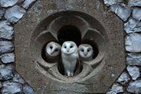 3 barn owls