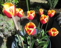 Latest update on my Tulips in the front garden
