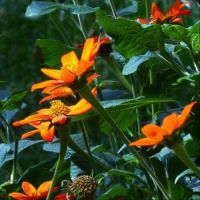 Mexican Sunflowers