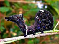 Caterpillar of Fruit-piercing Moth