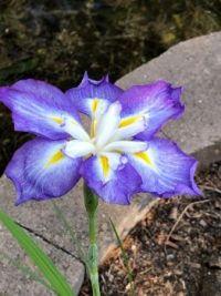 Double Japanese Iris, Almost Open