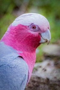 Female Pink and Grey Galah, looking like she is full of mischief!