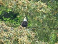 Bald Eagle, Icy Strait Point, Alaska