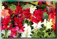 Snapdragons in a variety of colors for Ardy