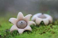 interesting-mushroom-photography-100__880.jpg Geastrum Minimum