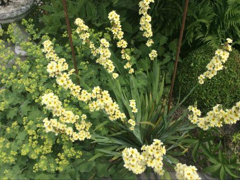 Groeit en bloeit in mijn tuin.