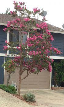 Flowering Crepe Myrtle