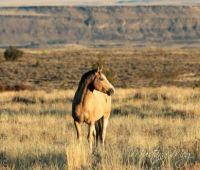 Wild Horses. Casper the Stallion who stole half of another stallions mares.