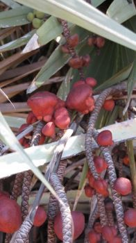 ODD PALM FRUIT