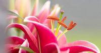 daylilies-6
