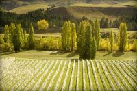 Autumn Arrives in the Vineyard
