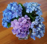 Hydrangeas, saved from our 40 degree heat!