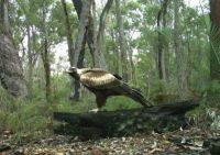 Wedgetail Eagle in the bush