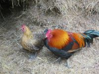 Chickens on Kangaroo Island, Sth Australia