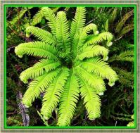 First Fern Fronds.