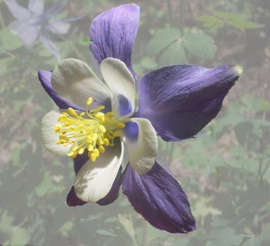 Theme, flowers: columbine, the Colorado state flower