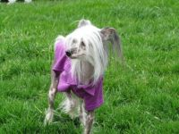 Yoki chinese crested dog
