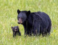 Bears by Scott Lehtola 1
