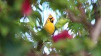 Yellow Cardinal - Extremely Rare