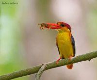 Oriental Dwarf Kingfisher by Kedar Potnis