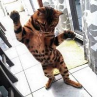 Bengal Kitty Cat 7 catching flies