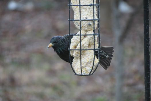 Starling on the Suet Feeder