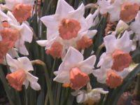 Salome Daffodils