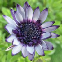 Osteospermum  (Spaanse Margriet)   (Close up)