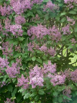 Late Lilac Bloomer