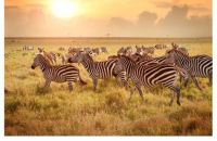 Zebras on the Move