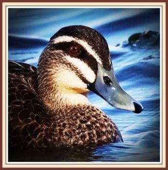 Little Black Duck, Harvey Estuary