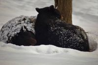 Black-bears-winter-snow-sleeping_-_West_Virginia_-_ForestWander