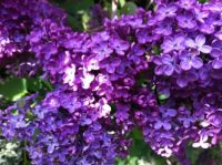 Lilac in the springtime