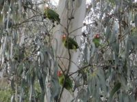 Red-masked Parakeets in the Presidio, San Francisco