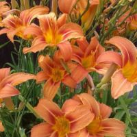 Daylily from Max's garden