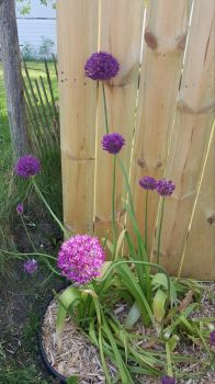 My garden... Alliums