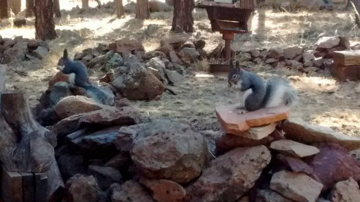 Two Kaibab Squirrels eating
