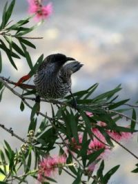191_6642  Little Wattlebird, Anthochaera chrysoptera, Meliphagidae