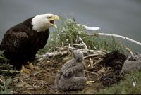 "THEME: ""Birds""  Bald Eagle in nest with 2 young"