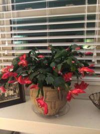 Peg's Christmas Cactus.