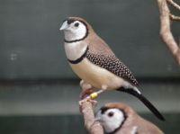 Bicheno or Double-barred Finch