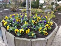 A bowl of pansies to brighten up the winter
