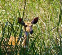 Shy Spotted Deer