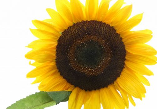 sunflower with heart