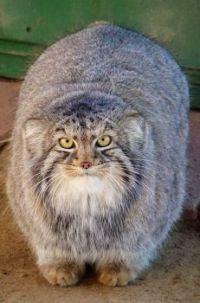 Wild Pallas cats of Iran