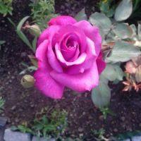 Max's new rose