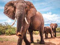 Theme: African Elephant