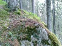 Finnish forest: pines, mosses, and rocks.